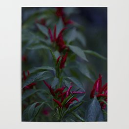 Red chili peppers in the plant Poster