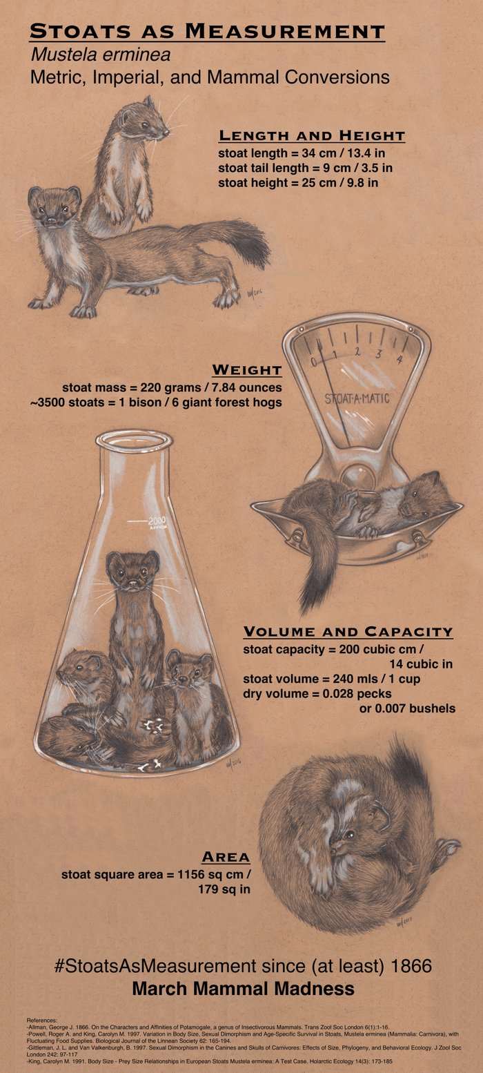 Chart indicating various measurements of an average stoat, with adorable stoat artwork by Charon Henning.
