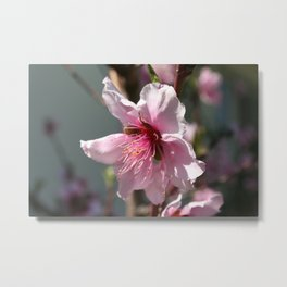 Close Up of Peach Tree Blossom Metal Print