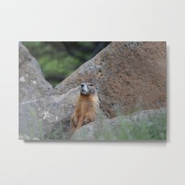 Adult Marmot Metal Print