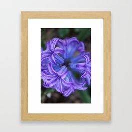 Hyacinth, Above Framed Art Print