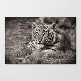 Sumatran Tiger Cub Taking A Break Canvas Print