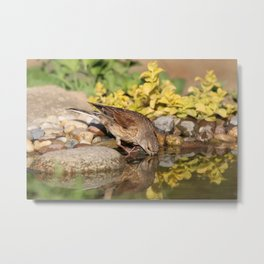 Young female goldfinch drinks water in hot summer day Metal Print