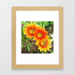 Three Bright Colored Gazania Flowers and Garden Framed Art Print