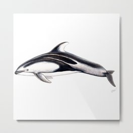 Pacific white-sided dolphin Metal Print