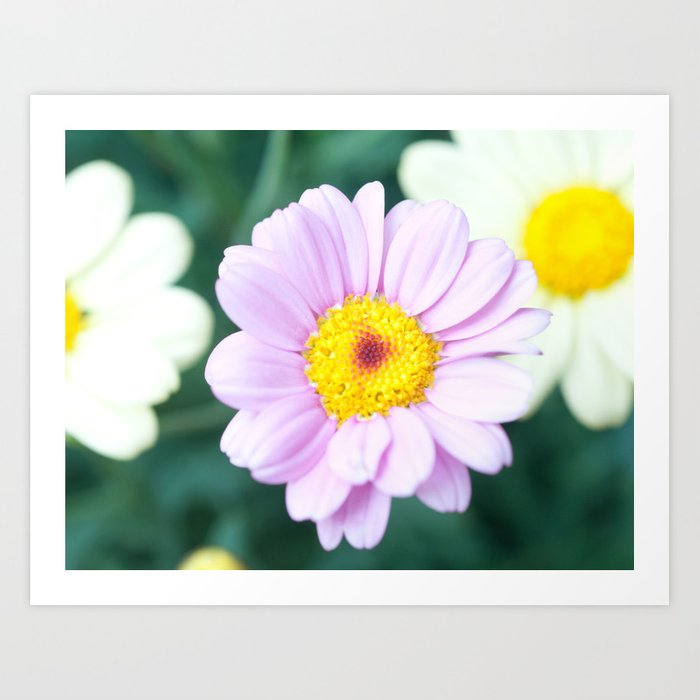 Soft Pink Marguerite Daisy Flower #1 #decor #art #society6 Art Print
