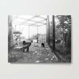 Gorillas ... playing tag. Metal Print