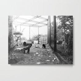 Gorillas ... playing tag. Metal Print