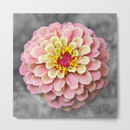 Pink and Yellow Zinnia on Black and White Metal Print