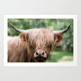 Scottish Highland Cattle with Forest in Background – Animal Photography Art Print