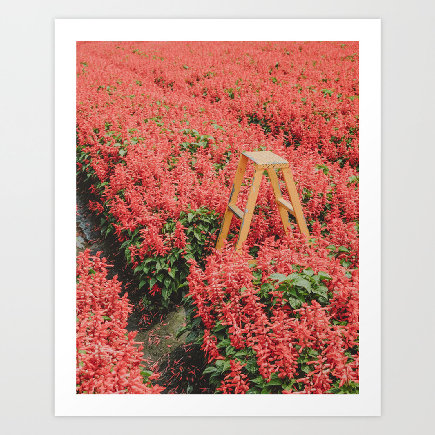 Red Salvia Flora Art Print By Hweh Society6