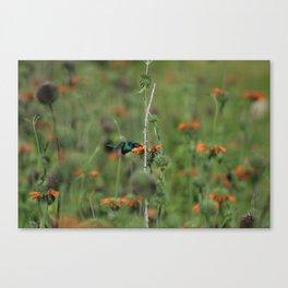 Sparkling Violetear Hummingbird and Orange Flower Canvas Print