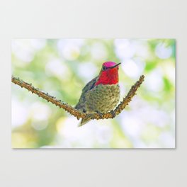 Anna's Hummingbird on a Twig Canvas Print