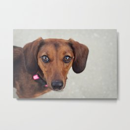 Doxie Dares You  Metal Print