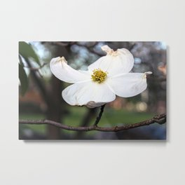 White Dogwood Blossom Metal Print