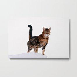 Bengal leopard cat portrait studio photography. Metal Print