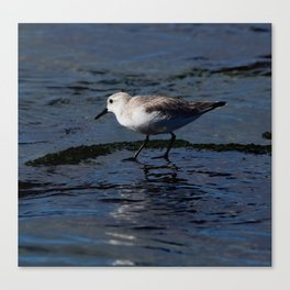 Sanderling in the Water Canvas Print