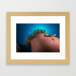 Pink Clownfishes in Anemone Framed Art Print