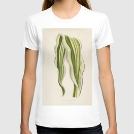 Striped Maize (Zea Japonica Variegata ) engraved by Benjamin Fawcett (1808-1893) for Shirley Hibberd T-shirt