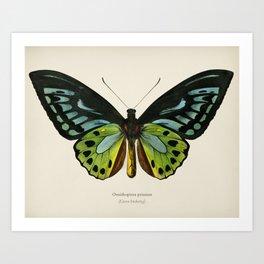 Green birdwing (Ornithoptera priamus) illustrated by Charles Dessalines D' Orbigny (1806-1876) Art Print