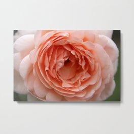 Rose - Delicate Metal Print