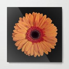 Orange Gerbera Daisy against a black background Metal Print