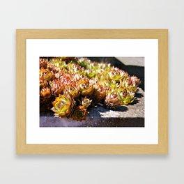 Hens and Chicks-succulents Framed Art Print