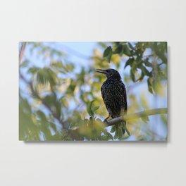 Common Starling Metal Print