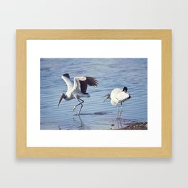 Two  wood storks fighting in a lake Framed Art Print