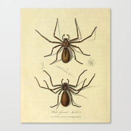 """""""White-Jointed Spider"""" by Sarah Stone, 1790 Canvas Print"""