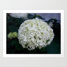 Cottonball Hydrangea Art Print