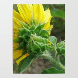 Birth of Sunflower Poster