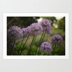 Purple Allium Ornamental Onion Flowers Blooming in a Spring Garden 5 Art Print