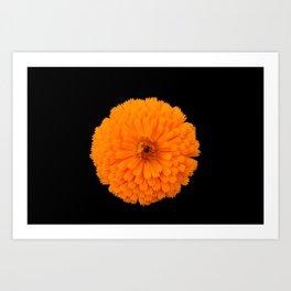 marigold flower on black background Art Print