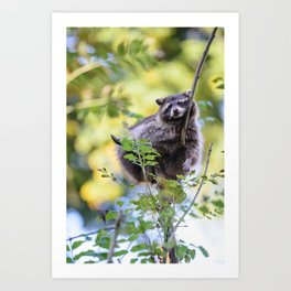 Cute racoon (lat. Procyon lotor) chilling on a tree Art Print