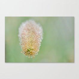 Early morning dew - 1 Canvas Print