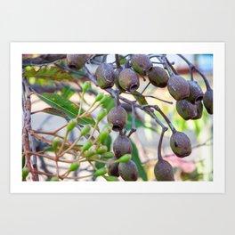 Flowering Gum. Gumnuts 4. NSW. Australia. Art Print