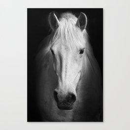 White horse portrait Canvas Print