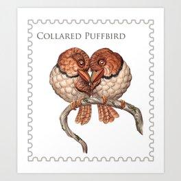 Collared Puffbird (Bucco capensis)  Art Print