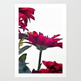 Red Chrysanthemum Flowers Art Print
