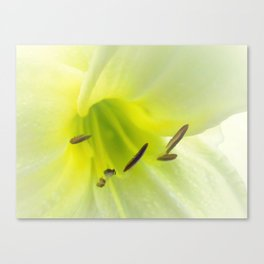 Lemon Daylily Canvas Print