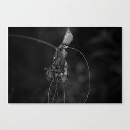 Batwing Plant (Tacca chantrieri) Canvas Print