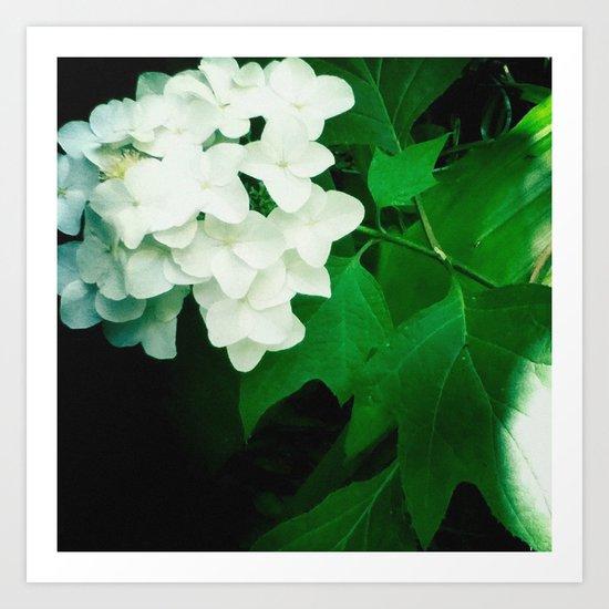 Oak leaf hydrangea flower Art Print