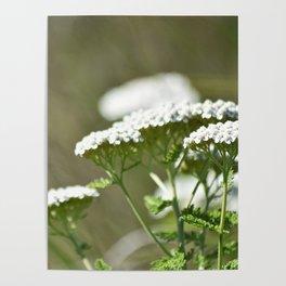White Marshland Flowers Poster