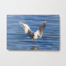 Black-headed gull (Chroicocephalus ridibundus) Metal Print