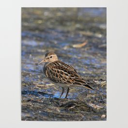 Party with Pectoral Sandpipers Poster