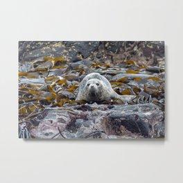 Young seal in the seaweed Metal Print