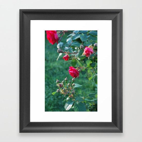climbing rose Framed Art Print