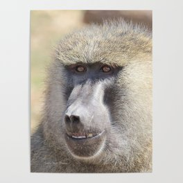 Portrait of a baboon Poster