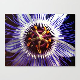 passionflower / Passiflora incarnata  Canvas Print